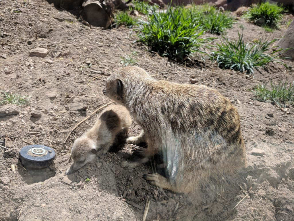 Mama and baby meerkats
